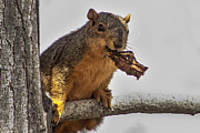 Eastern Fox Squirrel Posters - Squirrel Lunch Time Poster by Robert Bales