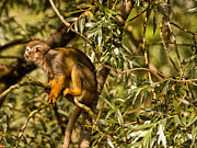 Primate Photos - Squirrel Monkey by Jay Lethbridge