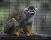 Keith Lovejoy - Squirrel Monkey