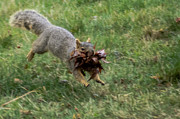 Eastern Fox Squirrel Posters - Squirrel Nest Bulding Poster by Robert Bales
