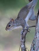 Squirrel Pose Print by Deborah Benoit