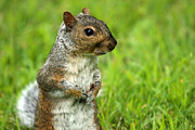 Critter Photos - Squirrel Pose by Karol  Livote