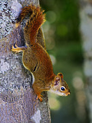 Photomanipulation Photo Prints - Squirrel Scout Print by ABeautifulSky  Photography