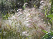 Foxtail Barley Posters - Squirrel Tail Grass Panguitch Lake Utah Poster by Deborah Moen
