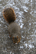 Jim Vansant - Squirrel with Snow Nose