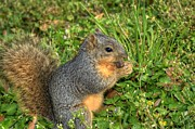 Chippy Photos - Squirrels Lunch Time by Ester  Rogers