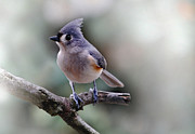 Bird Identification Posters - Sring Time Titmouse Poster by Skip Willits