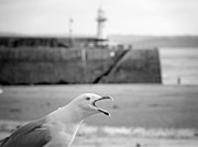 Stephen Rees - St Ives seagull making a...