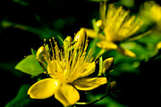 Large Scale Posters - St Johns Wort Poster by Scott Lyons