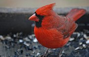 Photos Of Birds Photos - St. Louis by Skip Willits