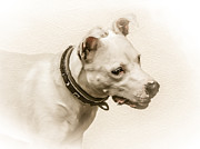 English Bull Terrier Posters - Staffordshire Terrier Poster by Ian Hufton