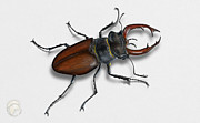 Beetle Drawings - Stag Beetle Lucanus cervus - lucane cerf volant - ciervo volante - Eikehjort - Tamminkainen -beetles by Urft Valley Art