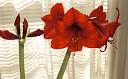 S Amaryllis Prints - Stages of Amaryllis Print by Jane Eleanor Nicholas