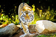 The Tiger Photo Metal Prints - Stalker Metal Print by Scott Pellegrin