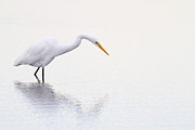 Yellow Beak Photos - Stalking Egret by Karol  Livote