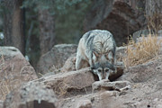 Wolves Photos - Stalking by Ernie Echols