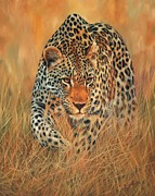 Leopard Hunting Framed Prints - Stalking Leopard Framed Print by David Stribbling
