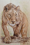Catch Pyrography Framed Prints - Stalking lioness Framed Print by Manon  Massari