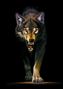 Animal Portraits Photo Posters - Stalking Wolf Poster by MGL Studio - Chris Hiett