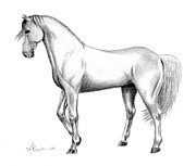 Horse Drawing Posters - Stallion Pride Poster by Kayleigh Semeniuk