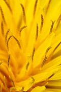 Soft Yellow Prints - Stamens Print by Daniel Csoka