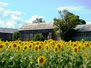 Flowers Sunflowers Barn Prints - Stand at Attention Print by Margaret Hamilton
