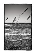 Sea Oats Framed Prints - Stand Tall 2 Framed Print by Ryan Hartson-Weddle