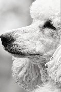 Maltese Dog Posters - Standard Poodle Portrait Black and White Poster by Lisa  DiFruscio