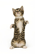 Cute Kitten Digital Art Posters - Standing Cat CK305 Poster by Greg Cuddiford