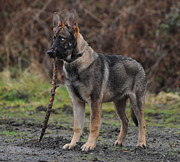 Dog With Stick Prints - Standing German Shepherd Print by EquusPix Photography