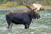 Bull Moose Photo Posters - Standing In The Fridge Poster by Adam Jewell