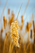 Cattail Photos - Standing Out From the Crowd 2 by Steve Harrington