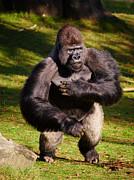 Nick  Biemans - Standing Silverback Gorilla