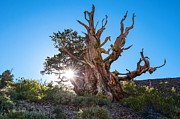 Oldest Living Tree Posters - Standing Strong - Sun burst view of the Ancient Bristlecone Pine Forest. Poster by Jamie Pham