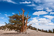 Oldest Living Tree Posters - Standing Strong - View of the Ancient Bristlecone Pine Forest. Poster by Jamie Pham