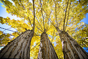 James BO  Insogna - Standing Tall Autumn Maple