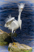Snowy Egret Originals - Standing tall by Barbara Bowen
