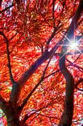 Randall Branham - Star light thru Maple