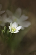 Star Of Bethlehem Prints - Star of Bethlehem Print by Fran Gallogly