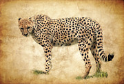 Cheetah Hunting Framed Prints - Stare Of The Cheetah Framed Print by Athena Mckinzie