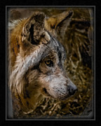 Stare Of The Wolf Print by Ernie Echols