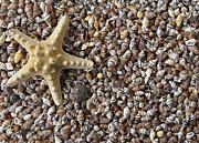 Sea Shell Prints - Starfish and seashells Print by Kiril Stanchev