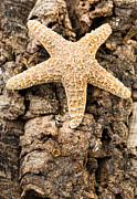 Marine Animal Prints - Starfish Print by Edward Fielding