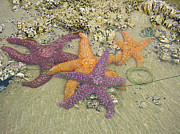 Cheryl Perin - Starfish Love-Oregon...