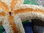 Kimberly Perry - Starfish on Beach Glass