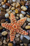 Pebbles Photos - Starfish on rocks by Garry Gay
