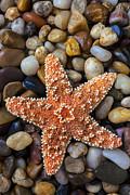 Starfish On Rocks Print by Garry Gay
