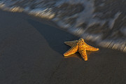 Seastar Metal Prints - Starfish On The Beach Metal Print by Susan Candelario