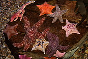 Starfish Variety 5d24133 Print by Wingsdomain Art and Photography