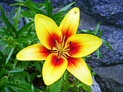 Summertime Photos - Stargazer by Aimee L Maher